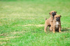 Puppies belgian shepherd malinois. Young puppies belgian shepherd malinois in  field Stock Photos