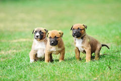 Puppies belgian shepherd malinois. Young puppies belgian shepherd malinois in  field Royalty Free Stock Photography