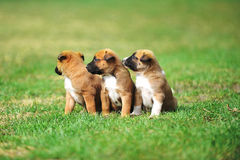 Puppies belgian shepherd malinois. Young puppies belgian shepherd malinois in  field Stock Images