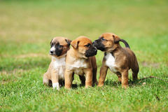 Puppies belgian shepherd malinois. Young puppies belgian shepherd malinois in  field Stock Photography