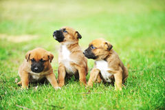 Puppies belgian shepherd malinois. Young puppies belgian shepherd malinois in  field Royalty Free Stock Photos