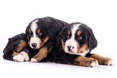 Puppies Bernese Mountain Dog Stock Photo