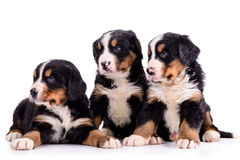 Puppies Bernese Mountain Dog Royalty Free Stock Images