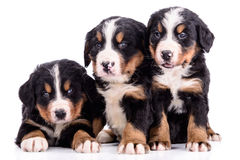 Puppies Bernese Mountain Dog Royalty Free Stock Photo