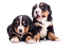 Puppies Bernese Mountain Dog Royalty Free Stock Photos