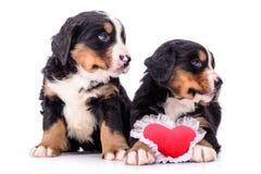 Puppies Bernese Mountain Dog Royalty Free Stock Photo