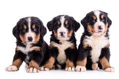 Puppies Bernese Mountain Dog Stock Image