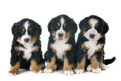 Puppies bernese moutain dog Royalty Free Stock Photo