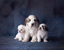 3 puppies on a blue backdrop Stock Photography