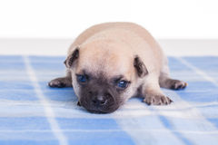 Puppies on a blue blankie. Royalty Free Stock Photos