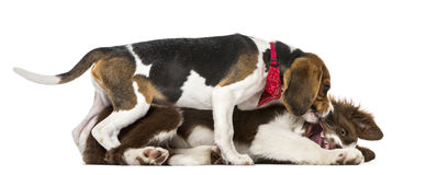 Puppies Border Collie fighting, ,15 weeks old stock photos