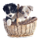 Puppies border collie Royalty Free Stock Image