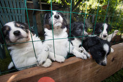 Puppies - border collie Stock Photos