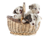 Puppies border collies Royalty Free Stock Photography