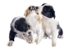 Puppies border collies and chihuahua Royalty Free Stock Images