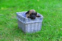 Puppies in box Stock Images