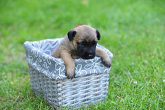 Puppies in box Royalty Free Stock Photography