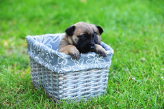 Puppies in box Stock Photo