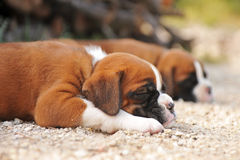 Puppies boxer Royalty Free Stock Photo