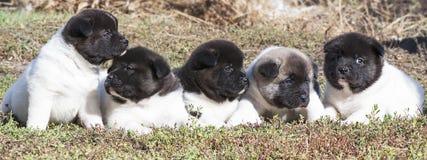 Puppies breed Akita Royalty Free Stock Image