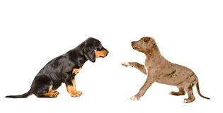 Puppies breed Slovakian Hound and Pitbull together. Isolated on white background royalty free stock image