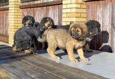 Puppies breed Tibetan Mastiff Royalty Free Stock Photos