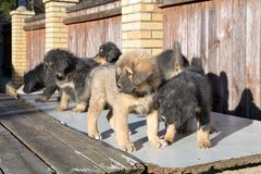 Puppies breed Tibetan Mastiff Stock Photo