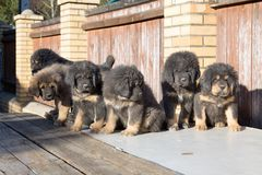 Puppies breed Tibetan Mastiff Royalty Free Stock Image
