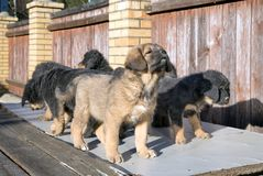 Puppies breed Tibetan Mastiff Stock Photography
