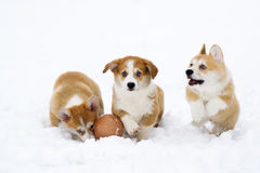 Puppies of breed  Welsh Corgi play on snow Royalty Free Stock Images