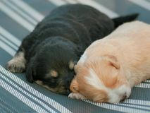 Puppies brothers. Two cute sleeping puppies brothers Stock Photography