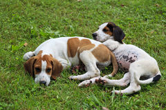 Puppies. Brown, black and white beagle hound dog puppies sitting in the grass stock images