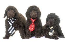 Puppies brown poodle royalty free stock image