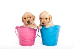 Puppies in bucket Royalty Free Stock Photos