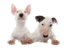 Puppies bull terrier Stock Image