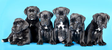 Puppies Cane Corso Royalty Free Stock Photos