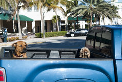 Puppies in the car. Two Puppies in the trunk of an american pick-up car with palms in the background - Miami (USA 2010 Royalty Free Stock Photo