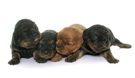 Puppies cavalier king charles Royalty Free Stock Photo