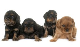 Puppies cavalier king charles Stock Photography