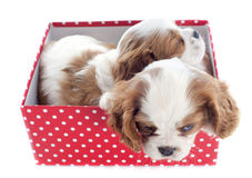 Puppies cavalier king charles Royalty Free Stock Image