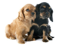 Puppies cavalier king charles Stock Images