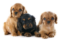 Puppies cavalier king charles Royalty Free Stock Photography