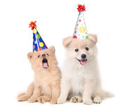 Puppies Celebrating a Birthday by Singing royalty free stock photography