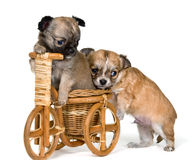 Puppies chihuahua on a bicycle Stock Photos