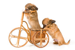 The puppies chihuahua on a bicycle Stock Photography