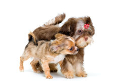 Puppies chihuahua and a colour lap dog Stock Images