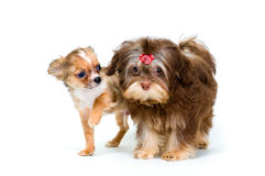 Puppies chihuahua and a colour lap dog Royalty Free Stock Image
