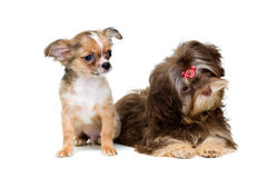 Puppies chihuahua and a colour lap dog. In studio Stock Photo