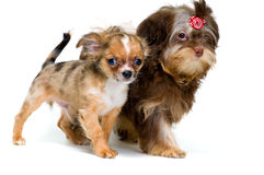 Puppies chihuahua and a colour lap dog Stock Photography