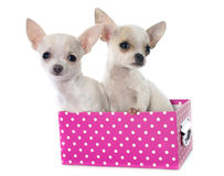 Puppies chihuahua Royalty Free Stock Images